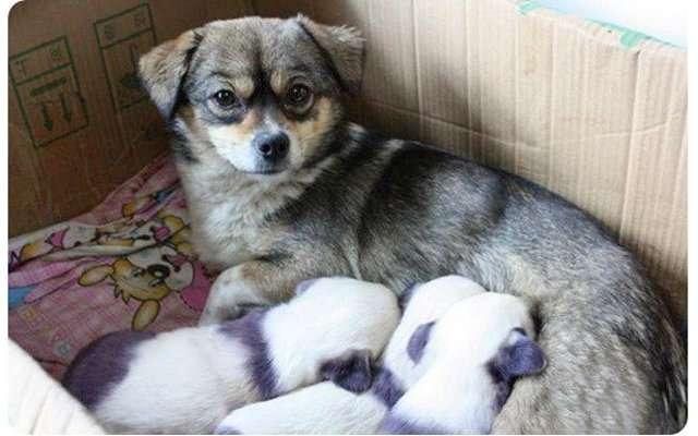 Милые собаки, похожие на панду