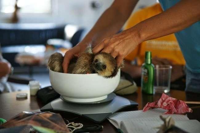 Женщина и ее двести ленивцев