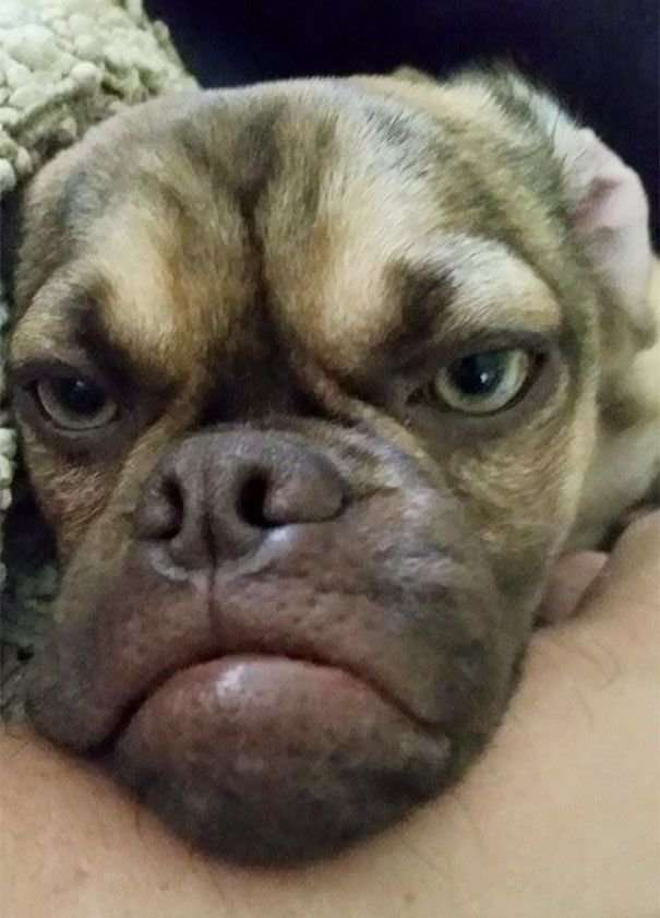 Угрюмый пес, который всегда чем-то недоволен