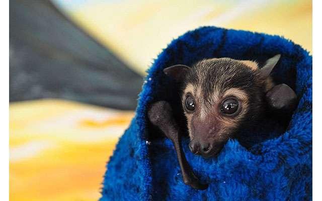 Летучая лисица в австралийском приюте